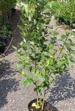 Native Tree Betula nigra Birch - River, #3 clump form