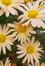 Chrysanthemum Brandywine Sunset, Mum