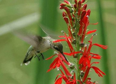 Attracting Hummingbirds