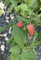 Rubus September, Raspberry, #3