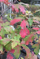 Acer griseum Maple - Paperbark, #20