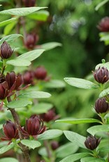 Nativar Shrub Calycanthus Simply Scentsational Sweetshrub #3