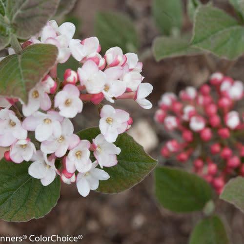 Viburnum carlesii Spice Girl, Viburnum - Korean Spice Improved, #3