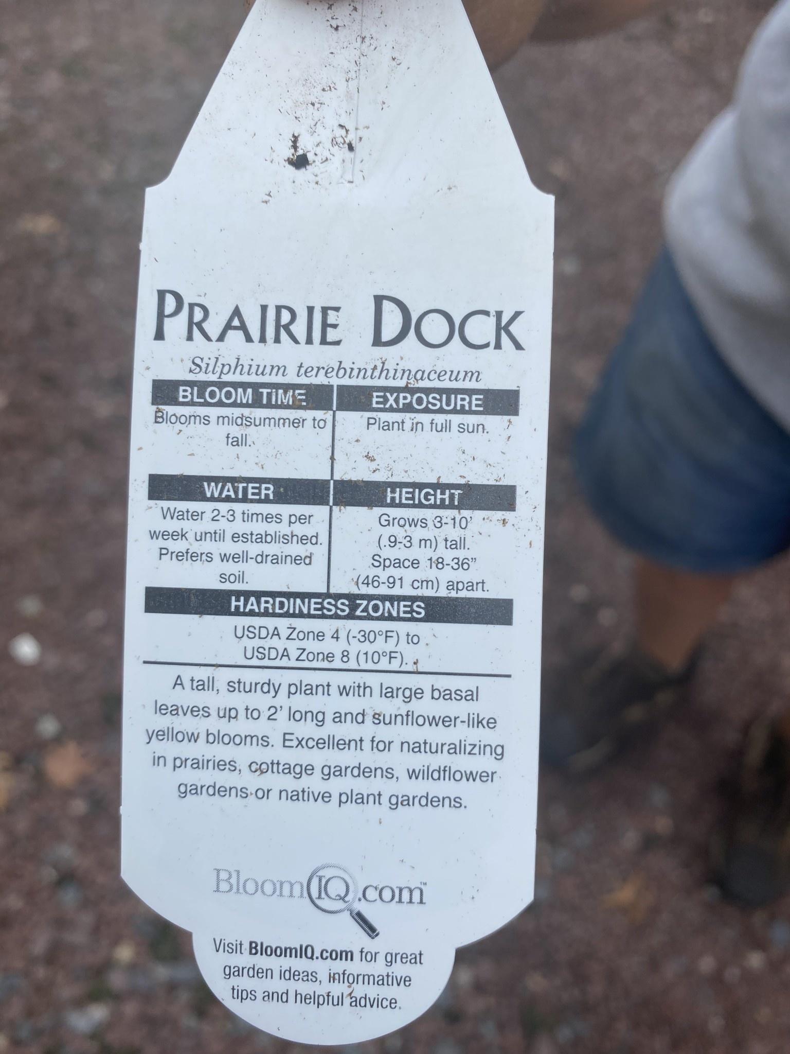 Silphium terebinthinaceum,  prairie dock #1 Container