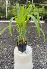 Corn,  ornamental 4''  pot