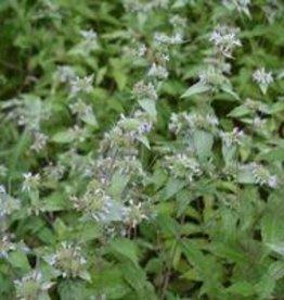 Pycnanthemum Incanum, Mountain Mint, Hoary-#1