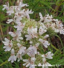 Pycnanthemum Tenuifolium, Mountain Mint, Slender-#1