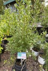 Myrica pensylvanica Bayberry, #3