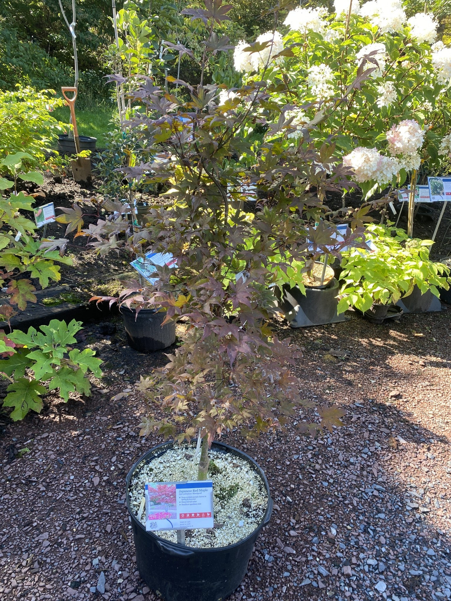 Acer palm. atro. Bloodgood Maple - Japanese Red, Bloodgood, #15