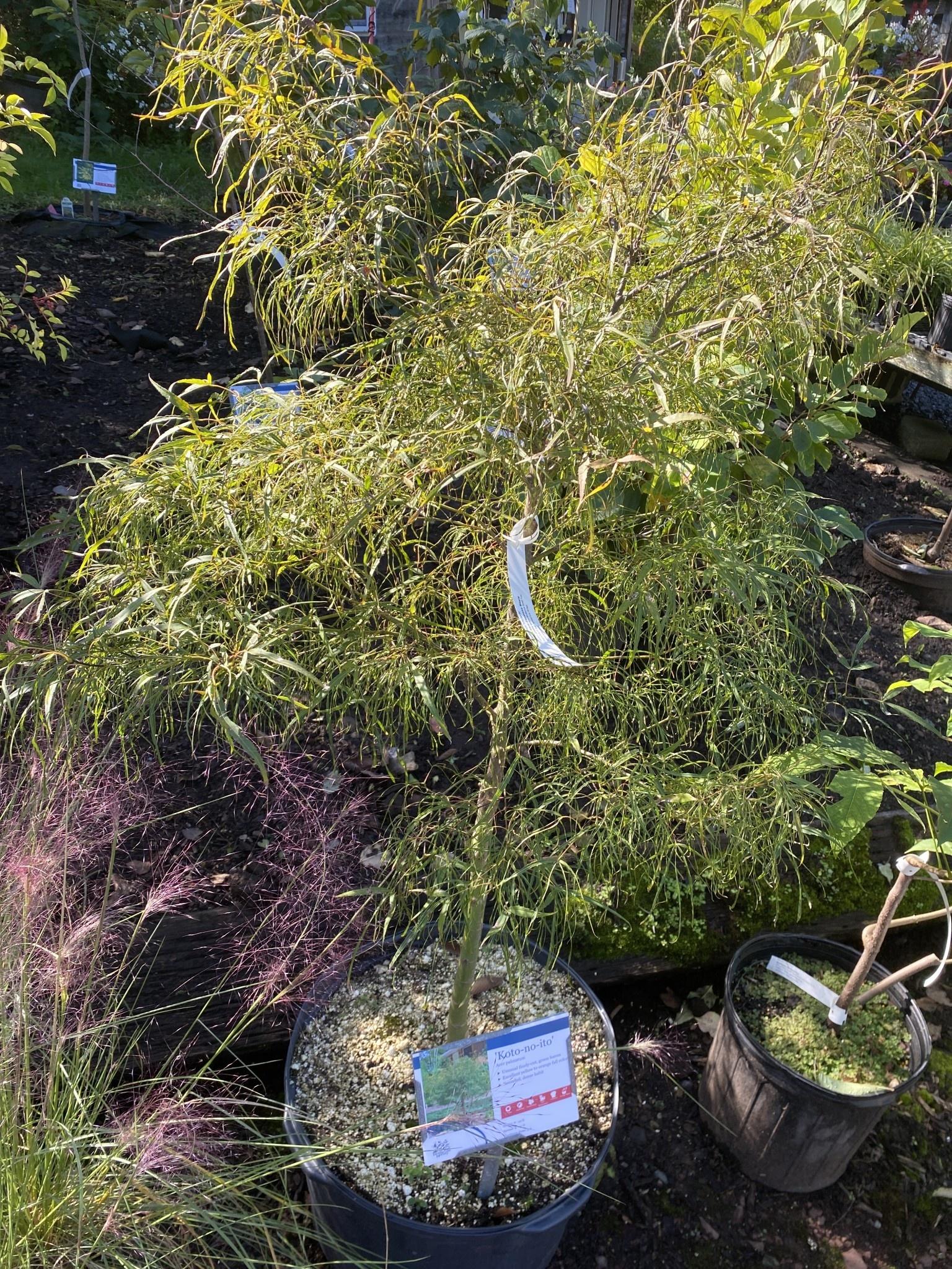 Acer palm. Koto-No-Ito, Maple - Japanese #10