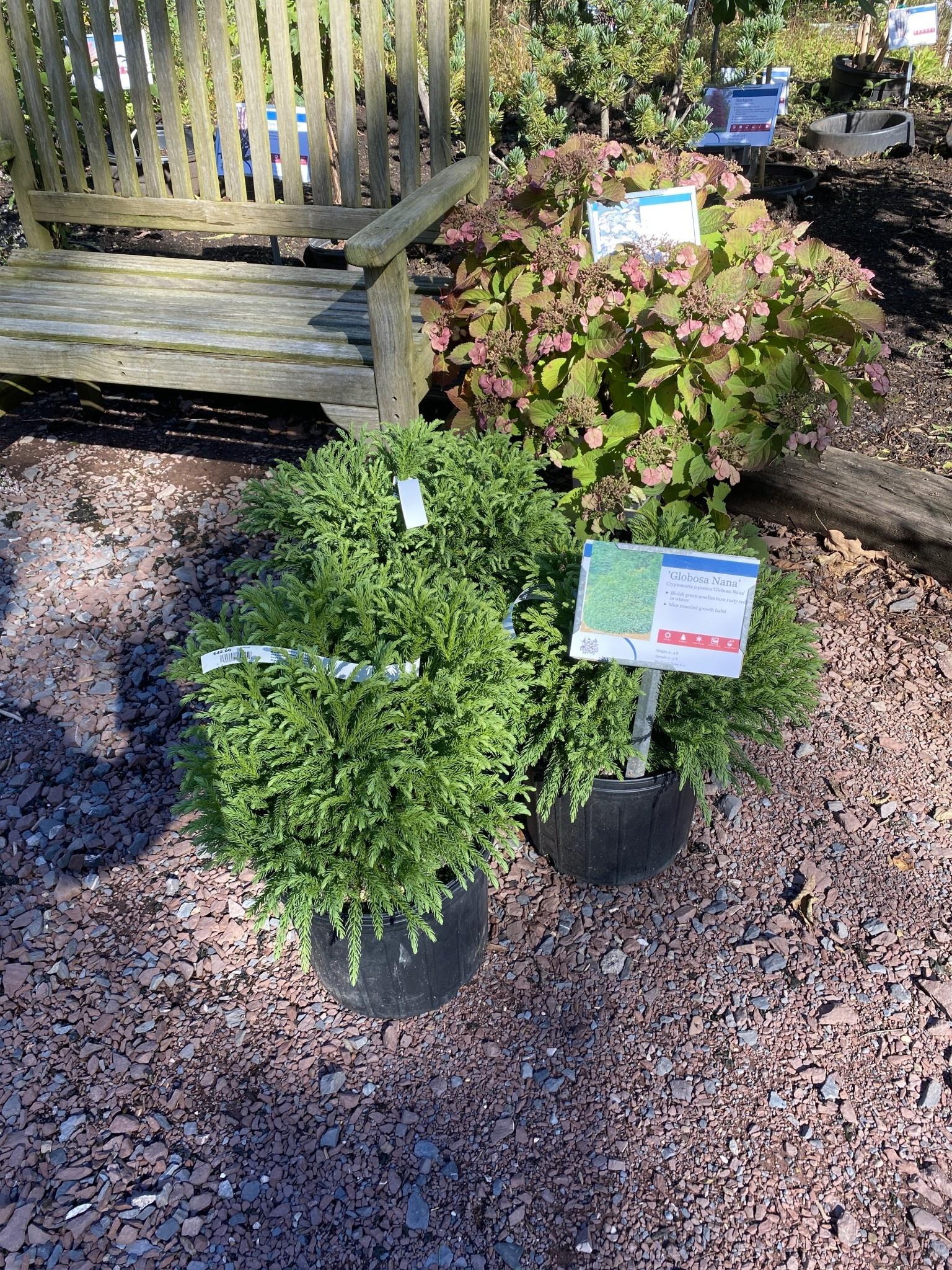Cryptomeria jap. globosa nana Cedar - Japanese,  Dwarf, #3