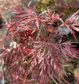 Acer palm. di.  Crimson Queen Maple - Japanese Threadleaf, Red , #7