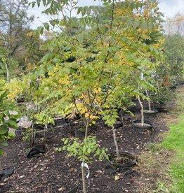 Koelreuteria paniculata Goldenrain Tree - Panicled, #5