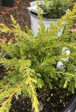 Nativar Shrub Juniperus Communis 'Tortuga' Juniper, #3
