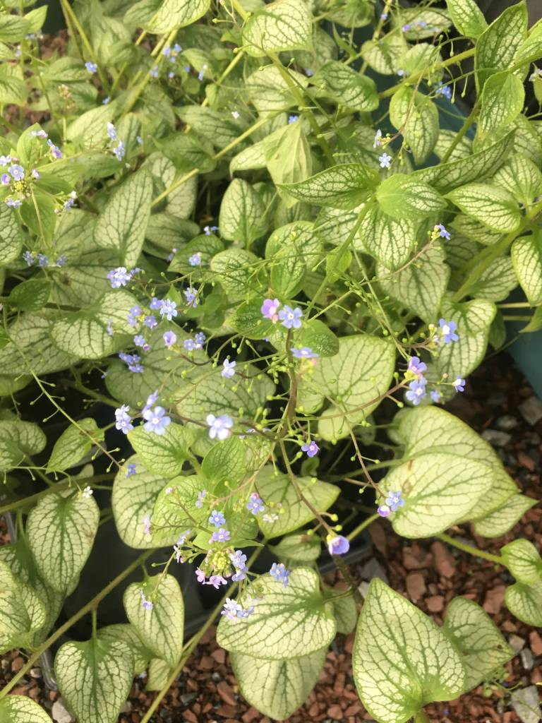 New Brunnera mac. Silver heart Brunnera, #1