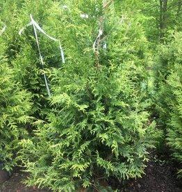 Thuja x Green Giant Arborvitae, Green Giant, 5-6