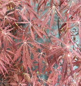 Acer palm. di. Tamyukeyama Maple - Japanese Threadleaf, Tamyukeyama, #7