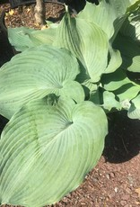 Hosta Blue Angel Plantain Lily, Blue Angel, #3
