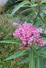 Asclepias incarnata Milkweed, Swamp, qt container
