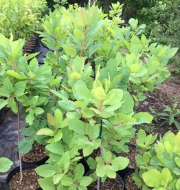 Native Tree Cotinus obovatus Smoketree, American, #3