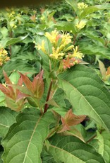 Nativar Shrub Diervilla x Kodiak Orange Honeysuckle Bush - Kodiak Orange, #3