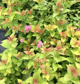 Spiraea jap. Magic Carpet Spirea, Magic Carpet, #3