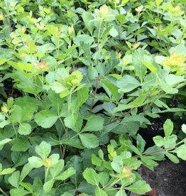 Nativar Shrub Rhus aromatica Gro-Low Fragrant Sumac, Gro-Low, #3