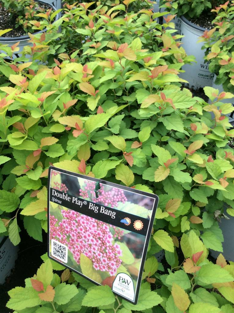 Spiraea Tracy Spirea, Double Play Big Bang, #3