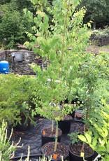 Cercidiphyllum jap. Katsura Tree, #7
