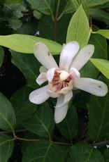 Nativar Shrub Calycanthus Venus Sweetshrub, Venus, #3