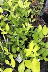 Nativar Shrub Calycanthus X Venus Sweetshrub, Venus, #3
