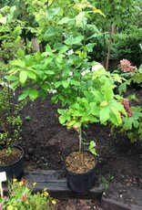 Native Tree Nyssa sylvatica Black Gum, #3