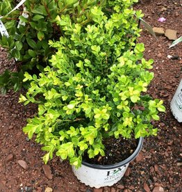 Buxus micro. Sprinter Boxwood, Sprinter, #3