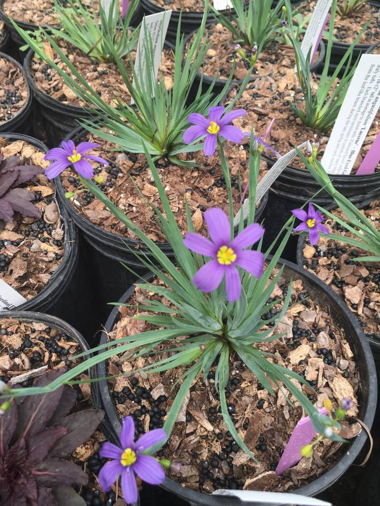 Sisyrinchium gram. Lucerne Grass - Ornamental Blue Eyed, Lucerne, #1