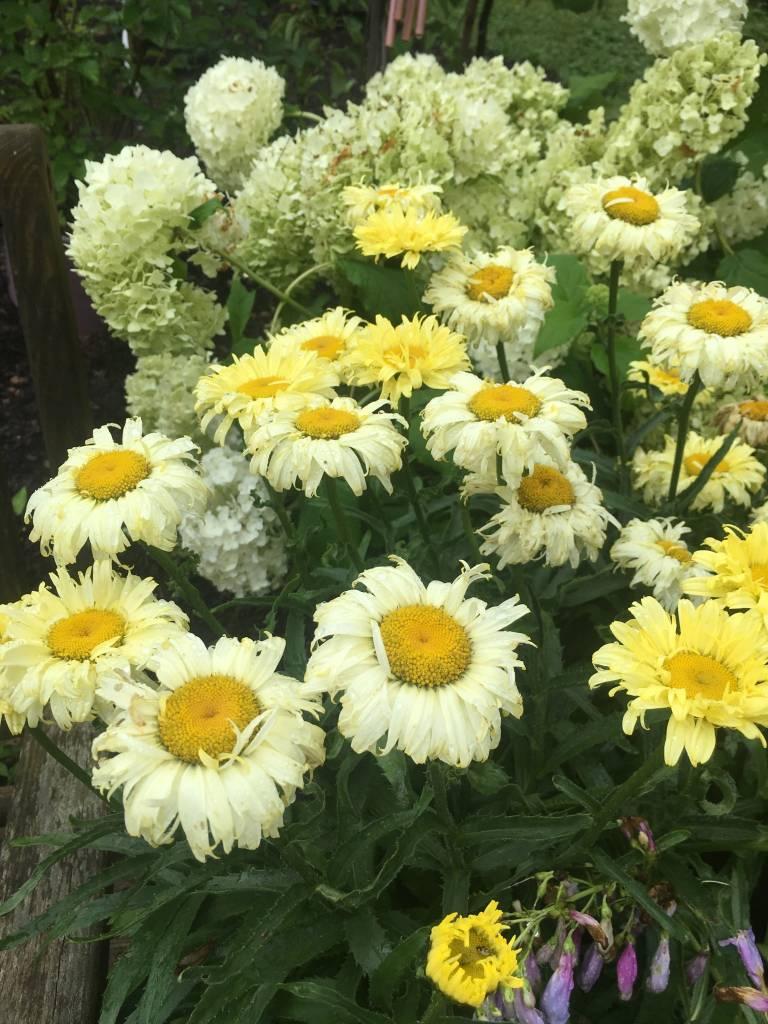 Leucanthemum Gold Finch , Shasta Daisy #1