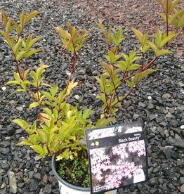 Sambucus nigra Gerda Elderberry, Black Beauty, #3