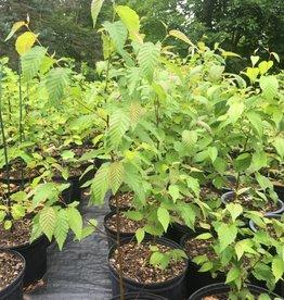 Native Tree Betula lenta, Birch, sweet #3