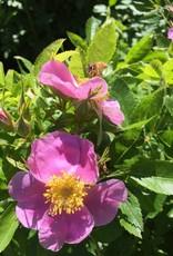 Native Shrub Rosa virginiana Rose, Virginia, #3