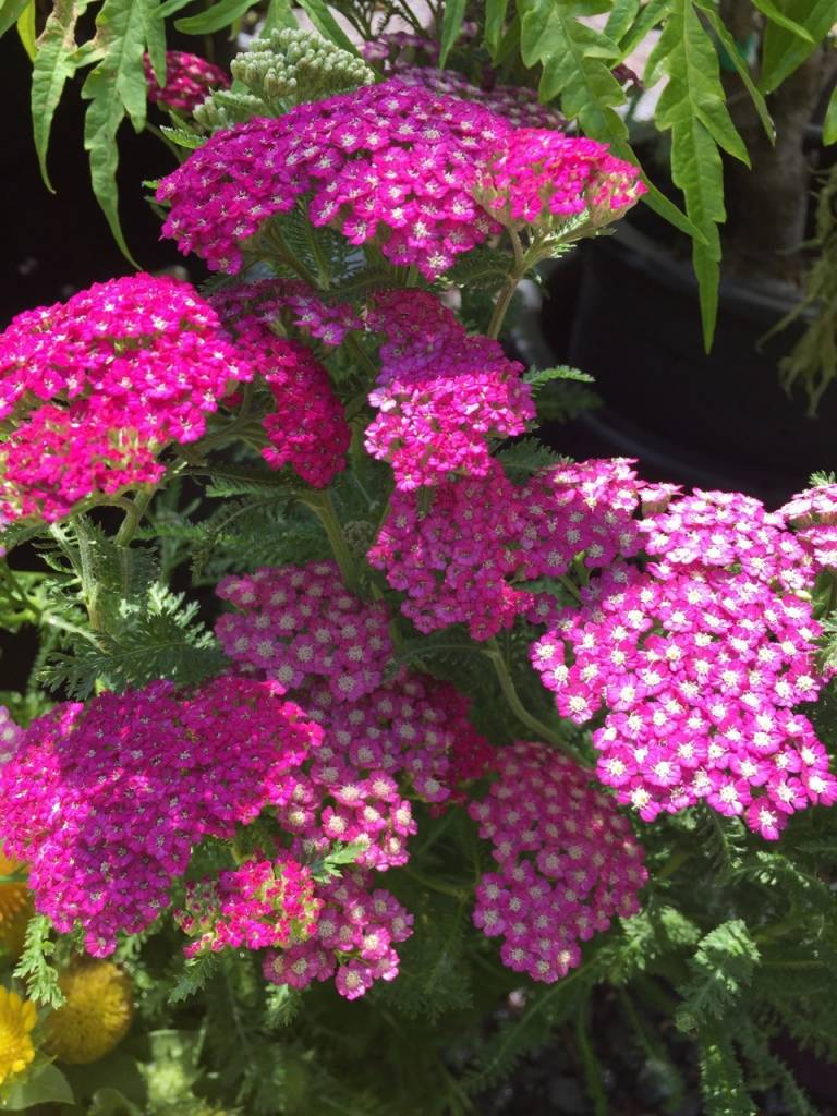 Achillea New Vintage Violet , Yarrow #1