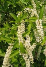 Nativar Shrub Itea virginica Sprich Sweetspire, Little Henry, #3