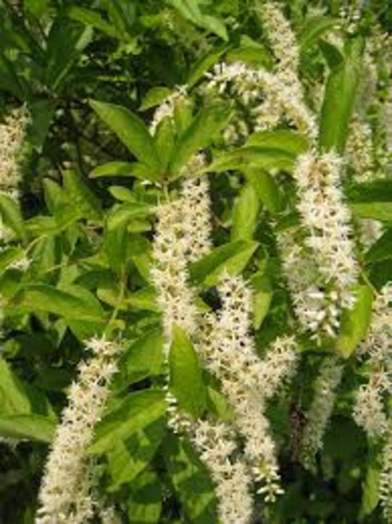 Nativar Shrub Itea virginica Sprich Sweetspire, Little Henry, #3