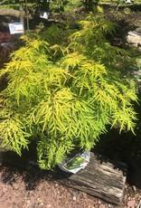 Sambucus racemosa SMNSRD4 Elderberry, Lemon Lace, #3