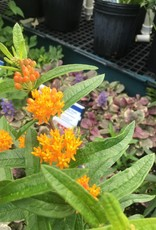 Asclepias tube. Butterfly Weed, #1 container