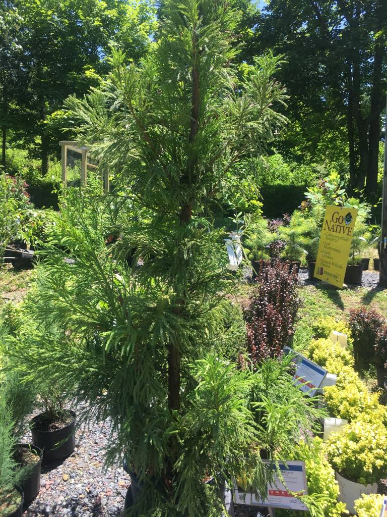 Cryptomeria jap. Yoshino Cedar - Japanese, Yoshino, #15
