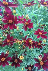 Coreopsis Red Satin Tickseed, Red Satin, #1