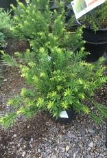 Cephalotaxus har. Duke gardens Yew, Japanese Plum Duke Gardens, #3