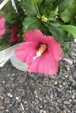 Hibiscus syr.,Rose of Sharon, Lil' Kim Red  , #3