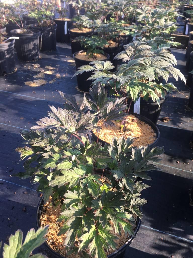 Cimicifuga Atropurpurea Snakeroot, Black, #1