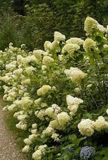 Hydrangea panic. Limelight Hydrangea - Hardy, Limelight, #3