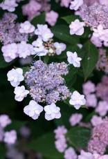 Hydrangea serrata MAKD Hydrangea - Tiny Tuff Stuff, #3
